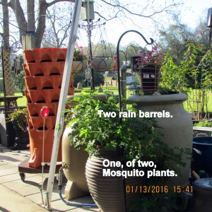 Rain barrels and mosquito plants