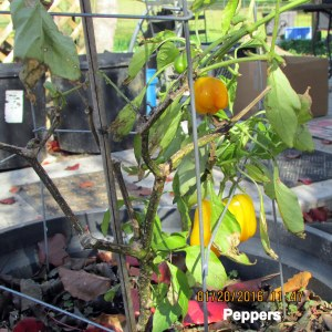 Peppers on my plant