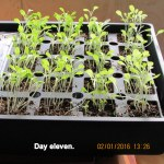 Sprouted lettuce seeds