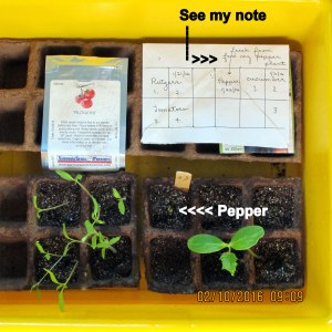 Pepper plant sprouting (1)
