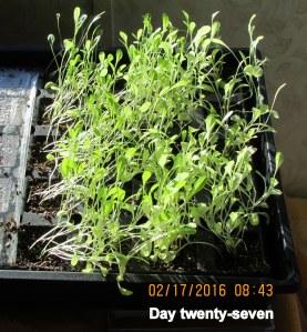 Lettuce on day twenty-seven