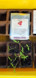Rutger's tomato seedlings