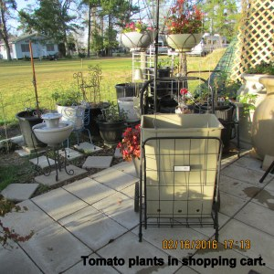 Tomato plants in shopping cart