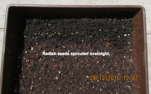 Radish seeds sprouted overnight
