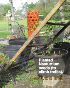 Nasturtiums planted