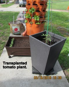 Transplanted Rutger's tomato