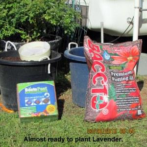 Preparing to plant Lavender seeds