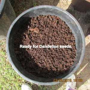 Ready for Dandelion seeds