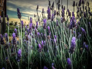 Lavender seeds ordered March twelve sixteen