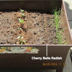 Planted radish seeds