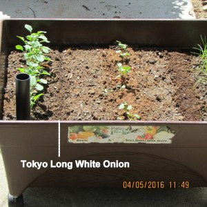 Planted onion seeds