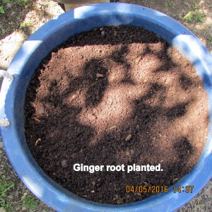 Ginger root planted