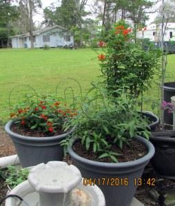 Cape Honeysuckle, Lantana, and Butterfly Bush