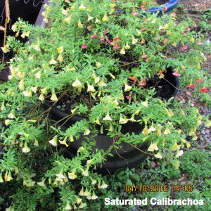 Saturated Calibrachoa