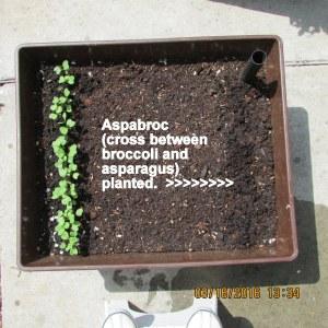 Aspabroc planted in Patio Picker