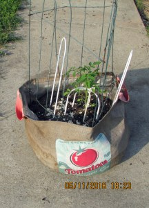 Tomato plant in burlap planter