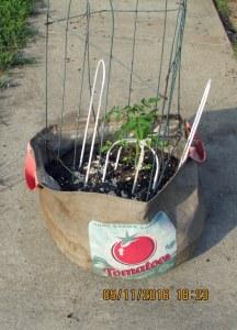 Tomato plant in burlap planter