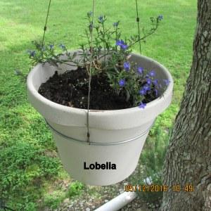 Lobelia in planter