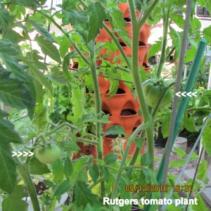 Rutgers tomato plant with two tomatoes
