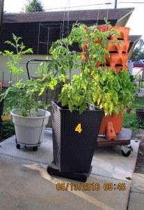 Fourth tomato planter