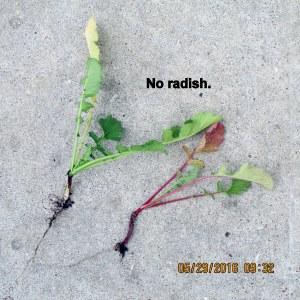 No radish