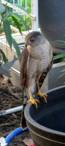 Cooper's Hawk close up