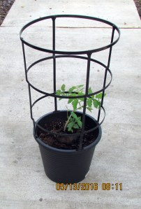 Growing tomato in salvaged planter