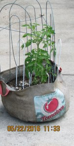 Tomato plant in burlap bag