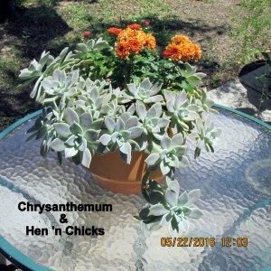 Chrysanthemum and Hen 'n Chicks in sunshine