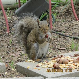 Squirrel eating a pecan