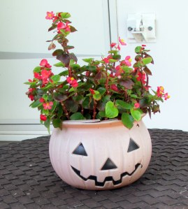 Begonia in Halloween planter