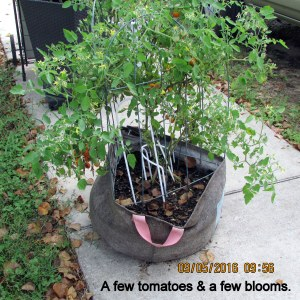Tomato plant in early September