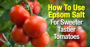 epsom-salt-sweeter-tastier-tomatoes-07302015