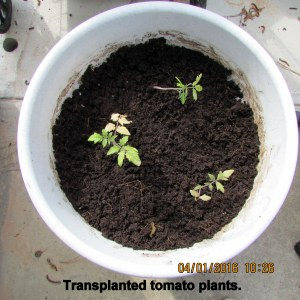 Planted orphan neglected tomatoes