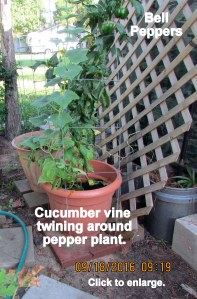 Intertwined cucumber and pepper plants
