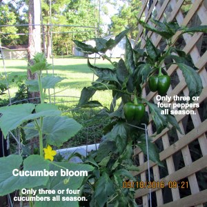 All season few cucumbers and peppers