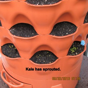 Kale has sprouted